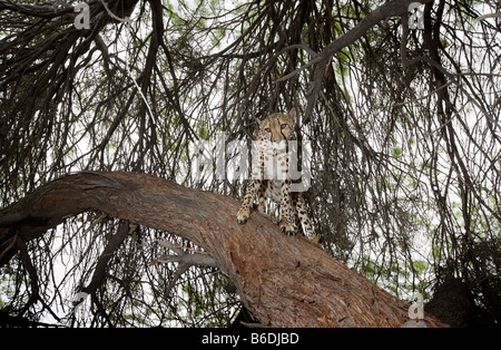 Africa Namibia Keetmanshoop Captive Adult female Cheetah Acinonyx jubatas climbing in shade of acacia tree - Stock Photo