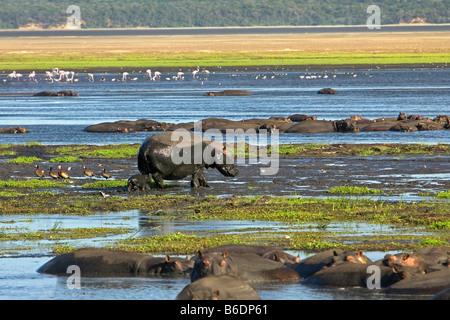 South Africa, Sint Lucia, Greater Sint Lucia Wetlands, Hippos and baby ( hippopotamus ) and flamingos in background