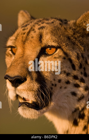 Africa Namibia Keetmanshoop Captive Adult Cheetah Acinonyx jubatas resting in setting sun - Stock Photo