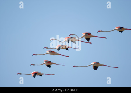 Africa Namibia Skeleton Coast Wilderness Flock of Lesser Flamingoes Phoeniconaias minor in flight above Huab Lagoon - Stock Photo