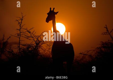 Giraffe Silhouette in Rising Sun, Etosha National Park - Stock Photo
