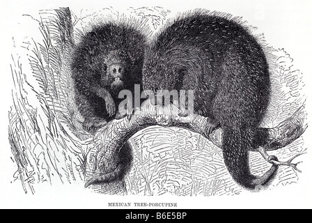 Mexican Hairy Dwarf Porcupine or Mexican Tree Porcupine Sphiggurus mexicanus)is a species of rodent in the Erethizontidae - Stock Photo