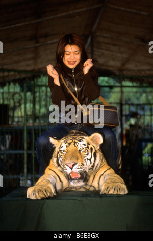 Chained Tiger (Panthera tigris) used to pose for tourist photos - Stock Photo
