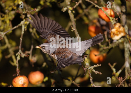 Fieldfare Turdus pilaris on apples Norfolk winter Stock Photo