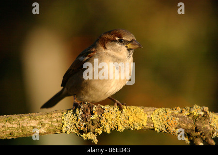 house sparrow passer domesticus perched on lichen covered branch - Stock Photo