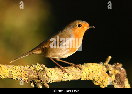 robin erithacus rubecula perched on lichen covered branch - Stock Photo