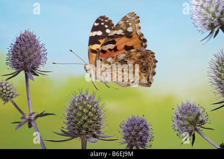 Painted Lady (Vanessa cardui), butterfly, Saxony-Anhalt, Germany - Stock Photo