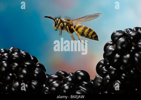 Common Wasp or Common Yellowjacket (Vespula vulgaris), flying over blackberries, Saxony-Anhalt, Germany - Stock Photo