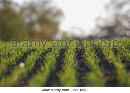 Rows of corn - Stock Photo