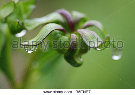 Bud with waterdrops - Stock Photo