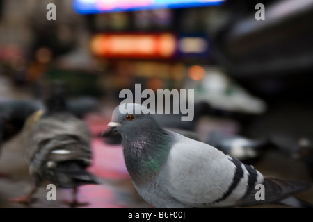 pigeon in london - Stock Photo
