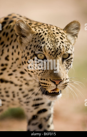 South Africa Kgalagadi Transfrontier Park Adult Female Leopard Panthera pardus in Kalahari Desert - Stock Photo