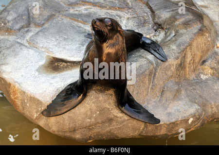 South American Sea Lion or Southern Sea Lion (Otaria flavescens), zoo in Buenos Aires, Argentina, South America - Stock Photo