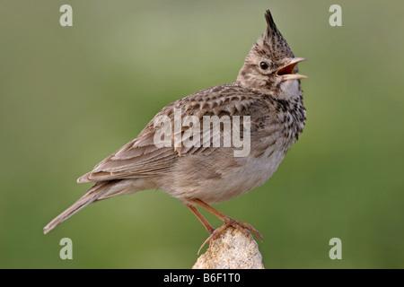 crested lark (Galerida cristata), sings , Bulgaria - Stock Photo