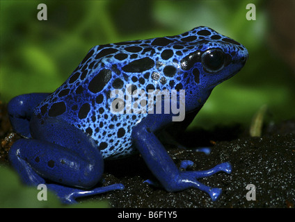 blue poison-arrow frog, Blue Poison Dart frog (Dendrobates azureus), single individual, Suriname - Stock Photo