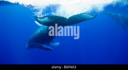 USA Hawaii Big Island Underwater view of Humpback Whale Megaptera novaengliae tail slapping while swimming in Pacific - Stock Photo