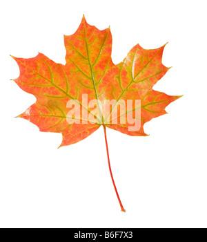 Oak leaf in Autumn or Fall colors - Stock Photo