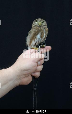 Eurasian Pygmy Owl (Glaucidium passerinum), fully grown bird with harness perched on falconer's hand - Stock Photo