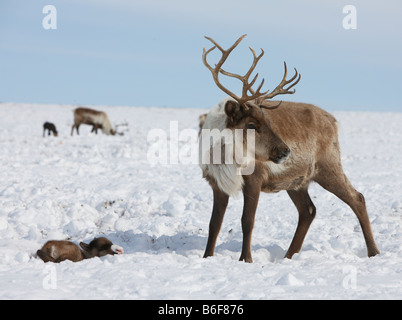 New born Reindeer with mother, Kanchalan located in the Chukot Autonomous Region, Siberia Russia - Stock Photo