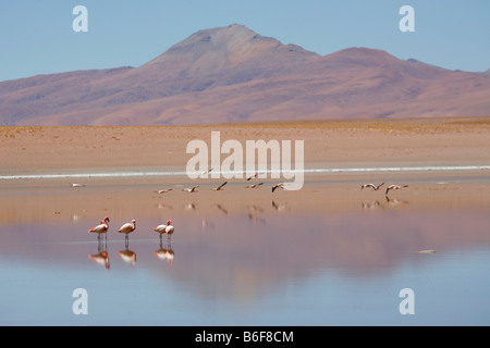 Flamingos in Laguna Jedionda on the Bolivian Altiplano - Stock Photo