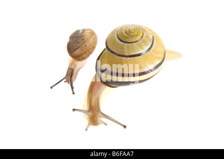 Young snail with a Grove Snail or Brown-lipped Snail (Cepaea nemoralis) - Stock Photo