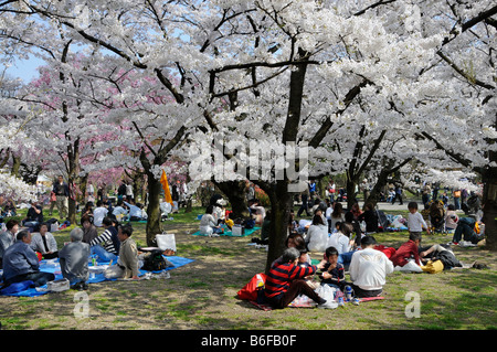 Japanese people celebrating the Cherry Blossom Festival under blossoming cherry trees in the botanical gardens, - Stock Photo