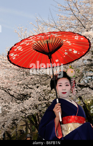 A Maiko, a trainee Geisha, carrying a red sun parasol or umbrella in front of cherry tree sin bloom, Kyoto, Japan, - Stock Photo