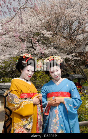 Two Maiko, trainee Geisha, in front of cherry trees in bloom, Kyoto, Japan, Asia - Stock Photo