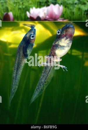 common marsupial frog (Gastrotheca marsupiata), tadpoles - Stock Photo