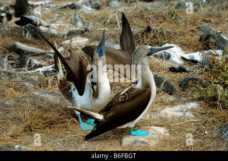 Blue-footed Booby (Sula nebouxii), pair engaged in courtship ritual, male courtship dance, Espanola Island, Galapagos - Stock Photo