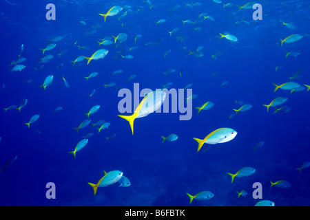 Yellow-and-blueback Fusilier (Caesio teres) - Stock Photo