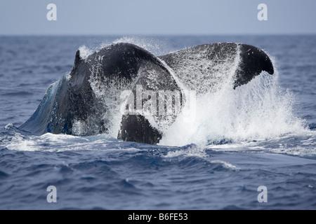 USA Hawaii Big Island Humpback Whale Megaptera novaengliae tail slapping in Pacific Ocean along Kona Coast - Stock Photo