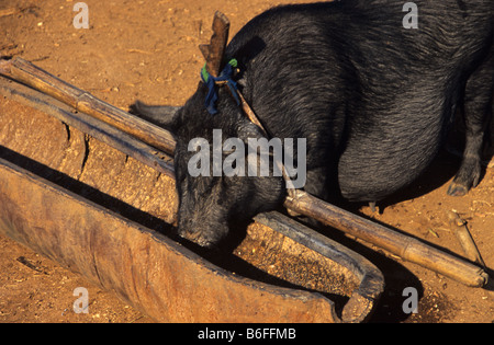 A pot-bellied pig eats from a trough or feeder made from the casing of a Vietnam-era US cluster bomb, Xieng Khuang - Stock Photo