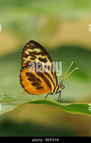 Heliconius xanthocles Longwing Butterfly sitting on a leaf, Ecuador, South America - Stock Photo
