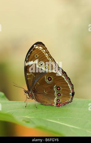 Peleides Blue Morpho Butterfly (Morpho peleides), Ecuador, South America - Stock Photo