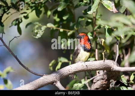 Black-collared Barbet (Lybius torquatus) - Stock Photo
