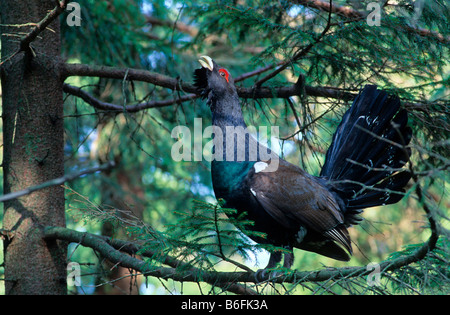 Capercaillie or Wood Grouse or Western Capercaillie (Tetrao urogallus), bird performing a courtship display while - Stock Photo