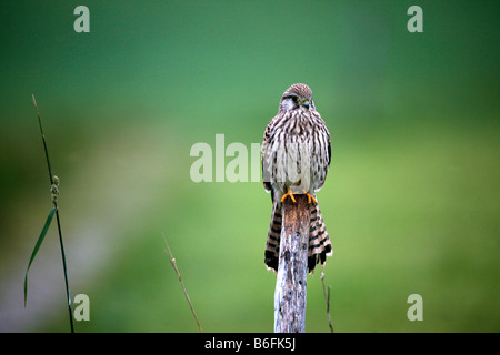 Common Kestrel (Falco tinnunculus), young female perching on branch - Stock Photo
