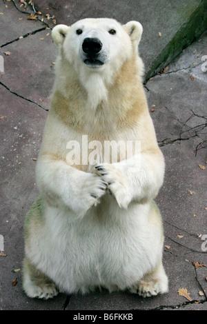 Polar Bear (Ursus maritimus, Thalarctos maritimus), sitting up and begging - Stock Photo