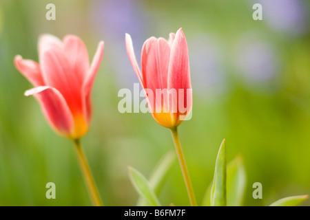 Carnation tulips in garden - Stock Photo