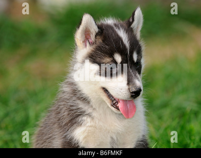 Greenland Dog puppy with pricked up ears - Stock Photo