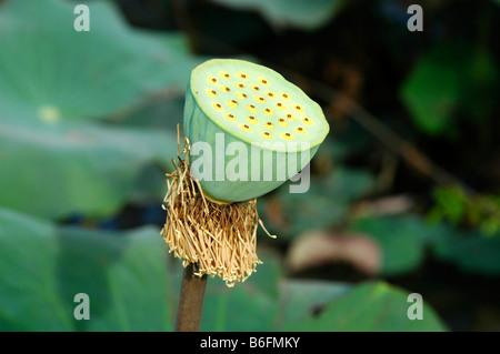 Seed capsule of the Indian Lotus (Nelumbo nucifera) - Stock Photo