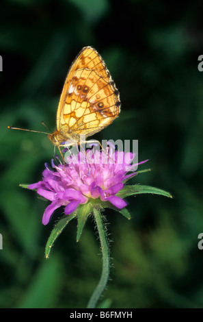 Marbled Fritillary (Brenthis daphne) drinking nectar from a Wood Scabious (Knautia dipsacifolia) - Stock Photo