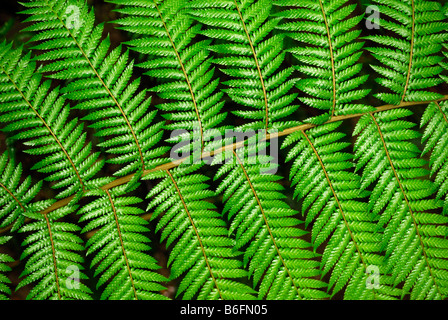 Fern frond, close-up, Tasmania, Australia - Stock Photo