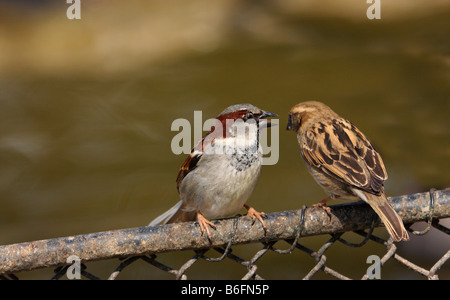 House Sparrow (Passer domesticus), birds, perched on a chicken-wire fence - Stock Photo