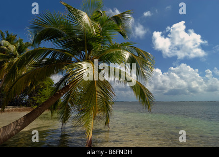 Palm trees on a beach on the coral island of South Water Caye, Belize Barrier Reef, Belize, Caribbean, Central America - Stock Photo
