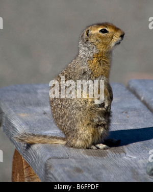 Arctic Ground Squirrel (Spermophilus parryii), Carcross, Yukon Territory, Canada, North America - Stock Photo