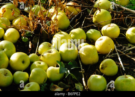 fallen apples in an orchard - Stock Photo