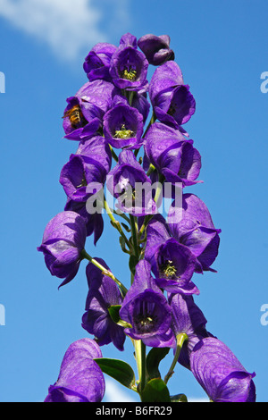Common Monkshood, Blue Monkshood, Garden Monkshood or Friar´s Cap (Aconitum napellus), poisonous plant