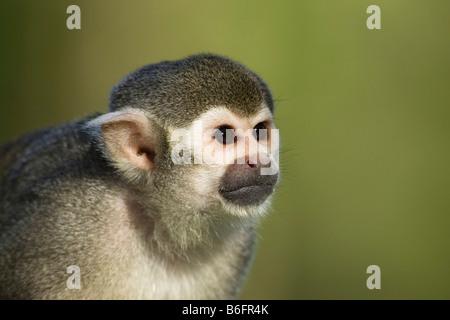 Common Squirrel Monkey (Saimiri sciureus), South America, zoo - Stock Photo
